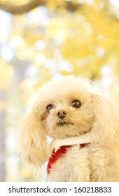 toy poodle in autumn