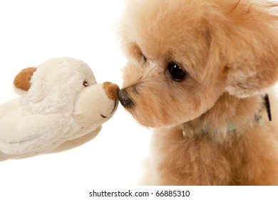 toy poodle and toy bear