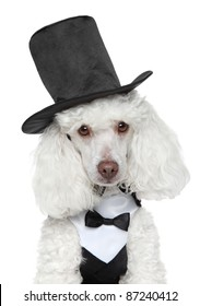 Toy Poodle in black waistcoat and hat on white background