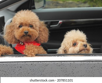 toy poodle in car