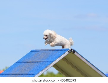 Toy Poodle Climbing Over an A-Frame at Dog Agility Trial