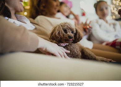 Toy poodle dog is relaxing with her family at christmas time. It is sitting on someones knee in the living room of their home.