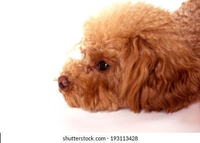 Toy Poodle in limp