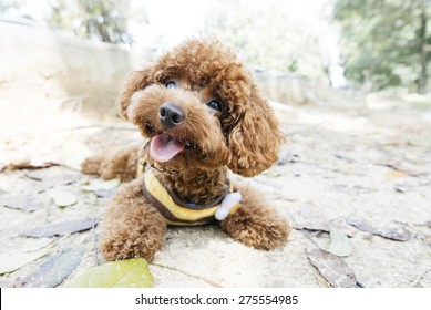 Toy Poodle lying on concrete floor at the park