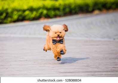 Toy Poodle playing in a park in city of China.