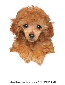Toy Poodle puppy above banner, isolated on white background. Baby animal theme