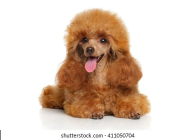Toy Poodle puppy lying down on a white background