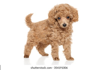 Toy Poodle puppy on white background