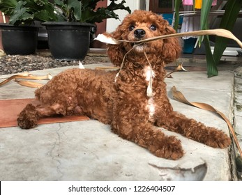 Toy poodle puppy is playing with leaf in his mouth