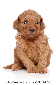 Toy poodle puppy sits on a white background