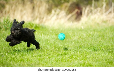 A toy poodle puppy zooming through the grass chasing a ball with his invisible fencing collar on, enjoying freedom in the Spring with copy space.