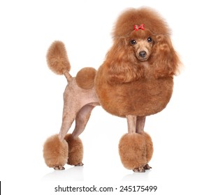 Toy Poodle with red bow posing on a white background