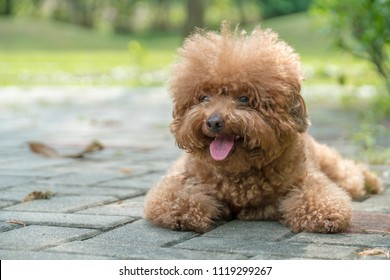 Toy poodle resting on concrete floor at the park