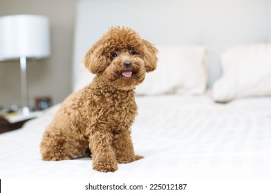 Toy Poodle sitting on bed