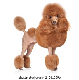 Toy Poodle in stand on a white background