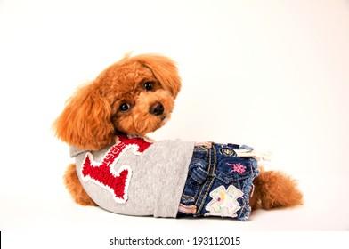 Toy poodle turning around