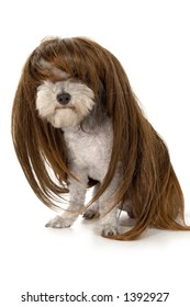 Toy poodle in a wig.