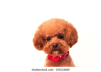 Toy poodle you have a scarf