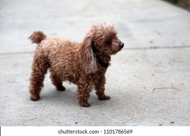 Toy or Tea Cup 2 lb poodle. A Two Pound Poodle stands on a sidewalk outside.