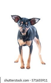 Toy Terrier , dog isolated , puppy , cute