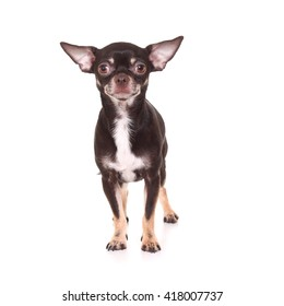 Toy Terrier on white background