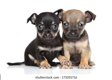 Toy Terrier puppies together on a white background