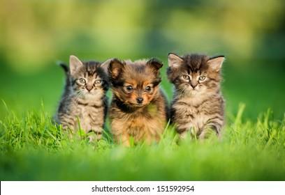 Toy terrier puppy between kittens