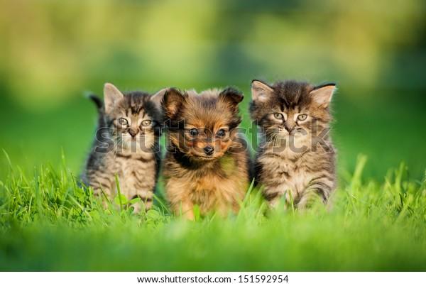 Le chiot de Toy terrier entre chatons