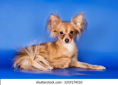 Toy Terrier puppy on blue background