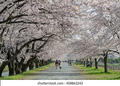 TOYAMA,JAPAN - APRIL 9,2016 : The Cherry-blossom (Sakura) trees along the bank of Funakawa river in the town of Asahi. This place is a very popular Cherry-blossom (Sakura) viewing spot in Toyama.