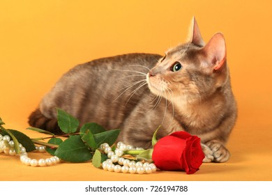 Toyger a breed of short-haired domestic cats, reminiscent of toy