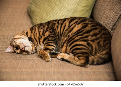 toyger cat curled up in ball lying on couch - cute striped kitten sleeping on sofa