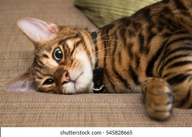 toyger cat in a daze lying on couch - striped kitten interior