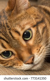 toyger cat lying down up close face on couch interior