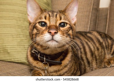 toyger kitten with face in camera - close up of striped orange cat