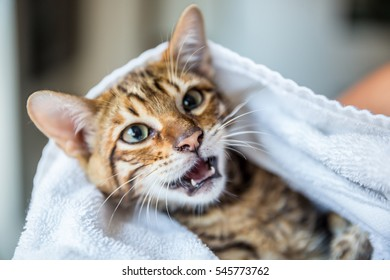 toyger kitten smiling after bath wrapped in towel - clean striped orange cat