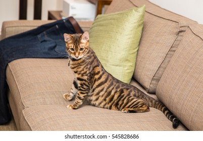 toyger kitten stretching on couch in living room interior - striped cat