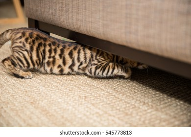 toyger striped cat crawling under couch on rug in house