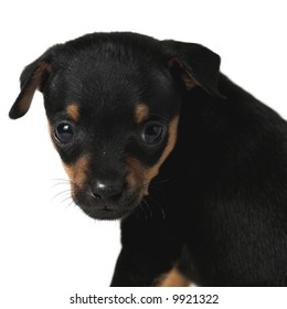 Toy-terrier puppy