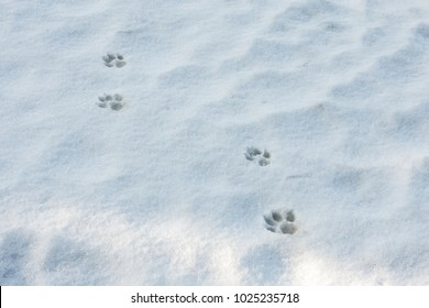 Traces of animals in the snow. Wolf, fox, dog, cat paws footprints in the forest. Paw prints in winter white snow.