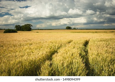 Traces of the wheels in the triticale field and white-gray clouds in the sky