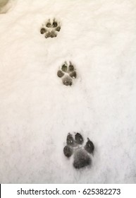 Traces of a wolf in the snow, traces in the snow