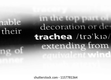 trachea word in a dictionary. trachea concept.