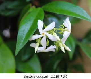Trachelospermum jasminoides, Common names include confederate jasmine, southern jasmine, star jasmine, confederate jessamine, and Chinese star jasmine