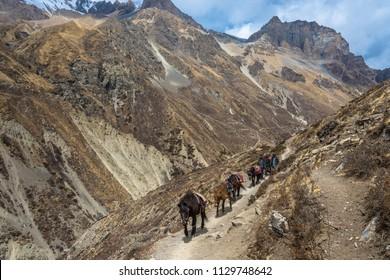 Track around Annapurna, Nepal-06.04.2018: Caravan of horses on the mountain trail 6 April 2018 on the track around Annapurna, Nepal.