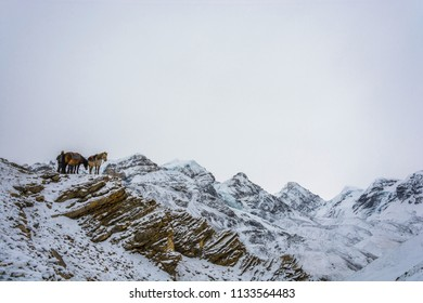 Track around Annapurna, Nepal-07.04.2018: two horses and a man on the snowy Thorong La pass on April 7, 2018 on the track around Annapurna, Nepal.