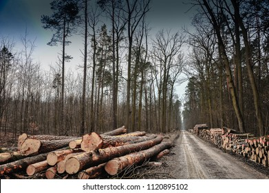 Track through a winter forest with felled trees on either side. Dark moody sky, stark landscape in Chojnow (Chojnowski) Forest, Piaseczno area, Poland