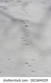 Tracking Wildlife in Canadian Snow. Shadows of Tree branches in the fresh snowfall. Small mammal tracks through the snow. Sunlight on a morning walk through a Canadian winter park. Small wildlife sign