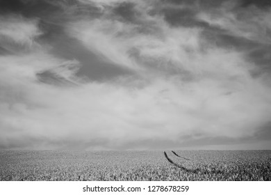 Tracks in wheat field, black and white landscape