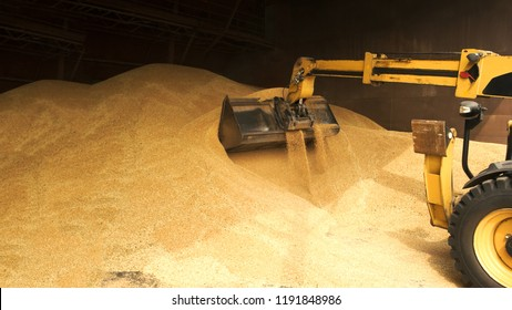 Tracktor loading graing from warehouse. Close up big pile of wheat grain.